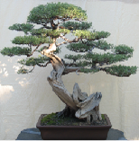 California juniper