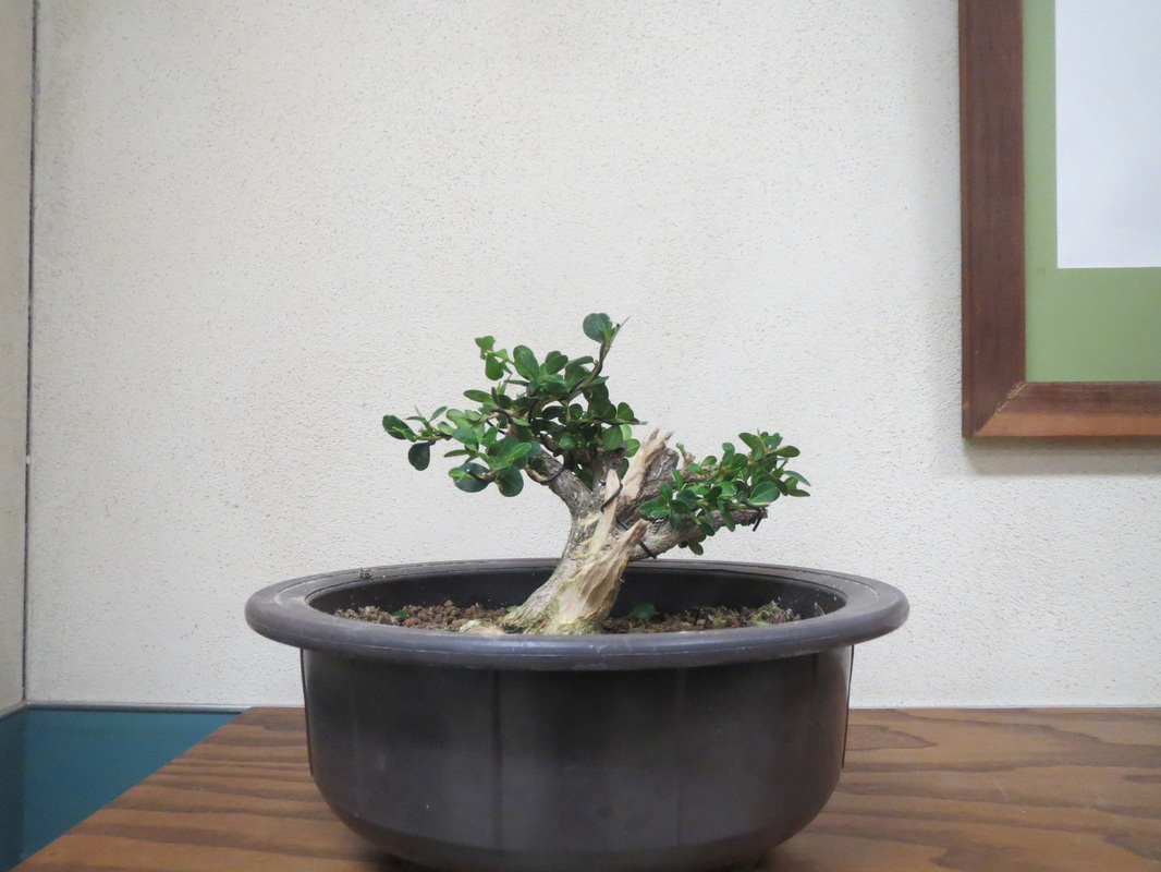 Archives san diego bonsai club