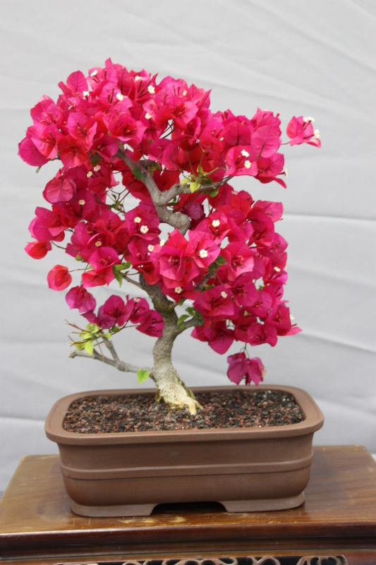 Bougainvillea Bonsai San Diego Bonsai Club